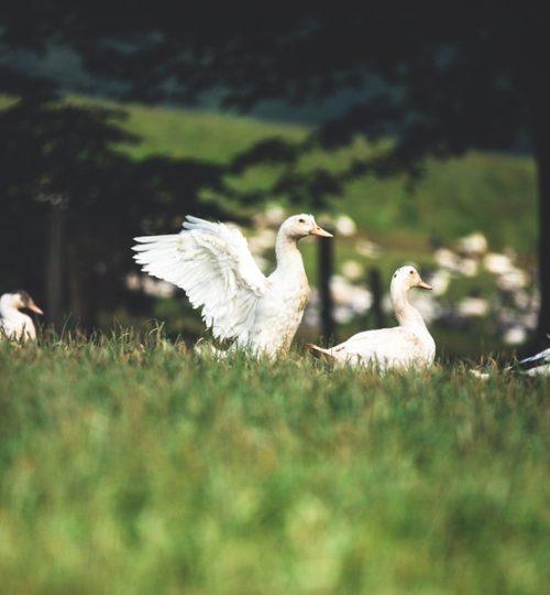Ferme-Uhartia-canards-Barcus